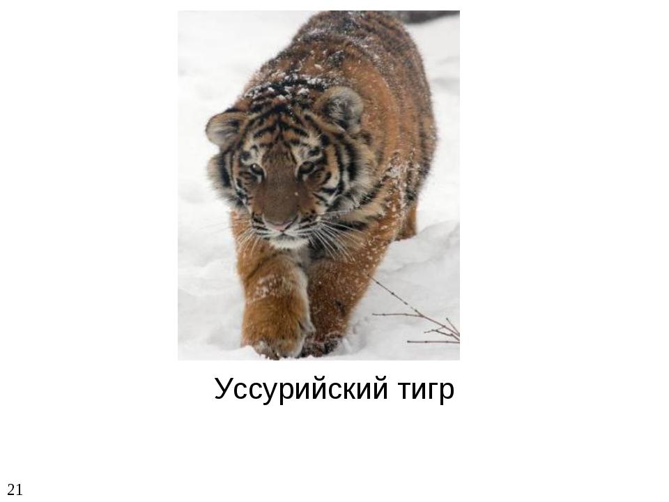 Уссурийский тигр 21