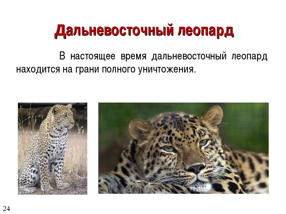 Дальневосточный леопард В настоящее время дальневосточный леопард находится н...