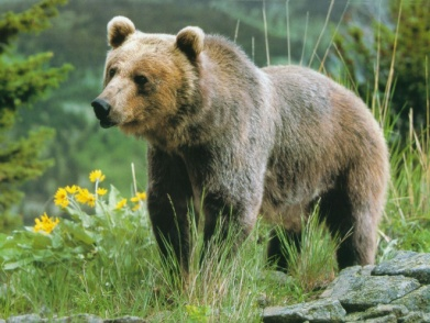 http://animalworld.com.ua/images/2011/July/Animals/Ursus/grizzly.jpg