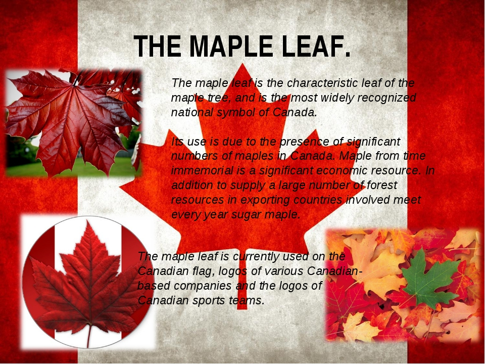 THE MAPLE LEAF. The maple leaf is the characteristic leaf of the maple tree,...