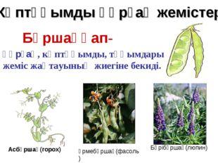 Бұршаққап- құрғақ, көптұқымды, тұқымдары жеміс жақтауының жиегіне бекиді. Асб