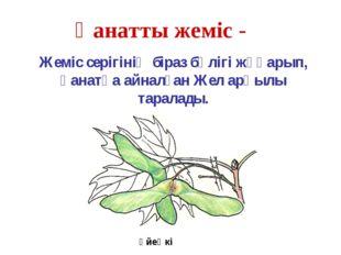 Үйеңкі Қанатты жеміс - Жеміс серігінің біраз бөлігі жұқарып, қанатқа айналған