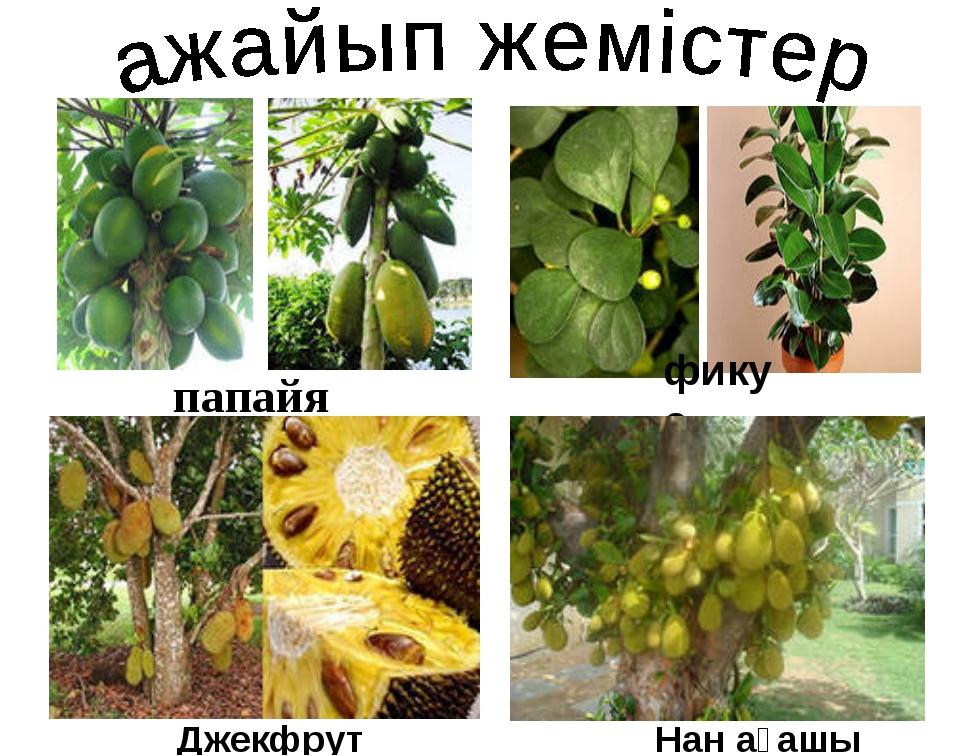 папайя фикус Джекфрут Нан ағашы