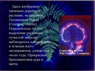 Здесь изображено типичное домашнее растение, называемое Ползающим Чарли (Cree
