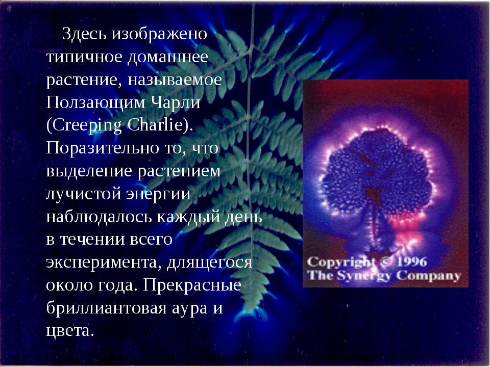 Здесь изображено типичное домашнее растение, называемое Ползающим Чарли (Cree...