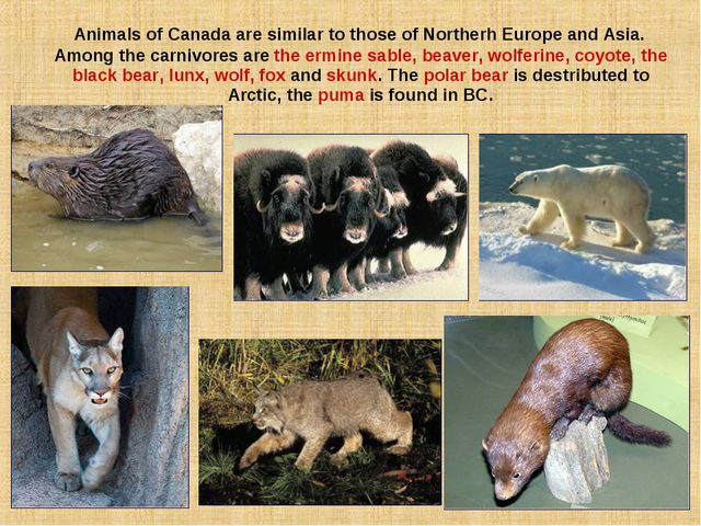 Animals of Canada are similar to those of Northerh Europe and Asia. Among th...