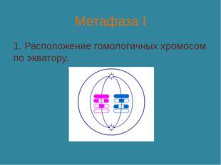 Метафаза I 1. Расположение гомологичных хромосом по экватору.