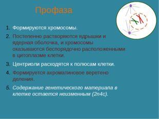 Профаза Формируются хромосомы. Постепенно растворяются ядрышки и ядерная обо
