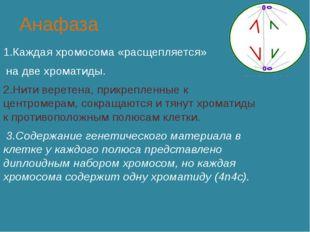 Анафаза 1.Каждая хромосома «расщепляется» на две хроматиды. 2.Нити веретена,