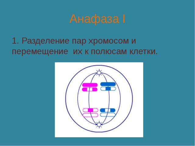Анафаза I 1. Разделение пар хромосом и перемещение их к полюсам клетки.