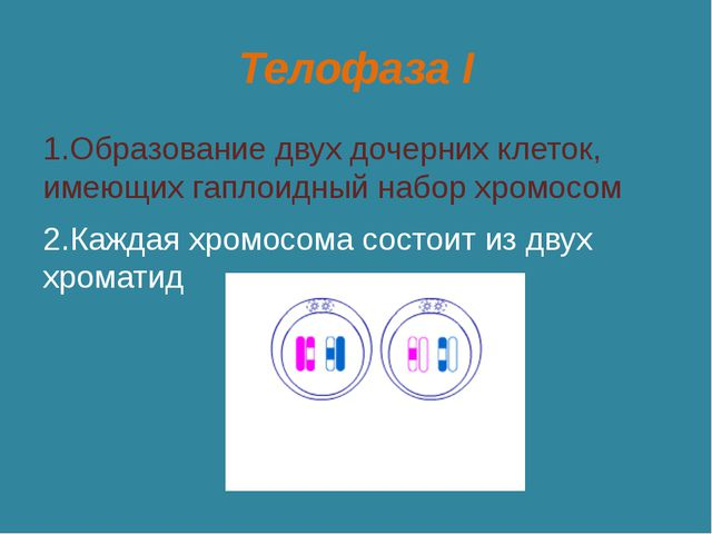 Телофаза I 1.Образование двух дочерних клеток, имеющих гаплоидный набор хромо...