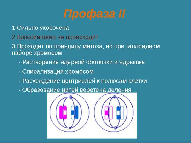 Профаза II 1.Сильно укорочена 2.Кроссинговер не происходит 3.Проходит по прин...