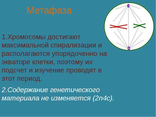 Метафаза 1.Хромосомы достигают максимальной спирализации и располагаются упор...