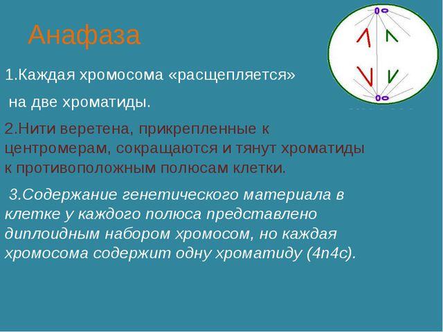 Анафаза 1.Каждая хромосома «расщепляется» на две хроматиды. 2.Нити веретена,...