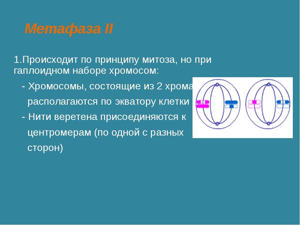 Метафаза II 1.Происходит по принципу митоза, но при гаплоидном наборе хромосо...