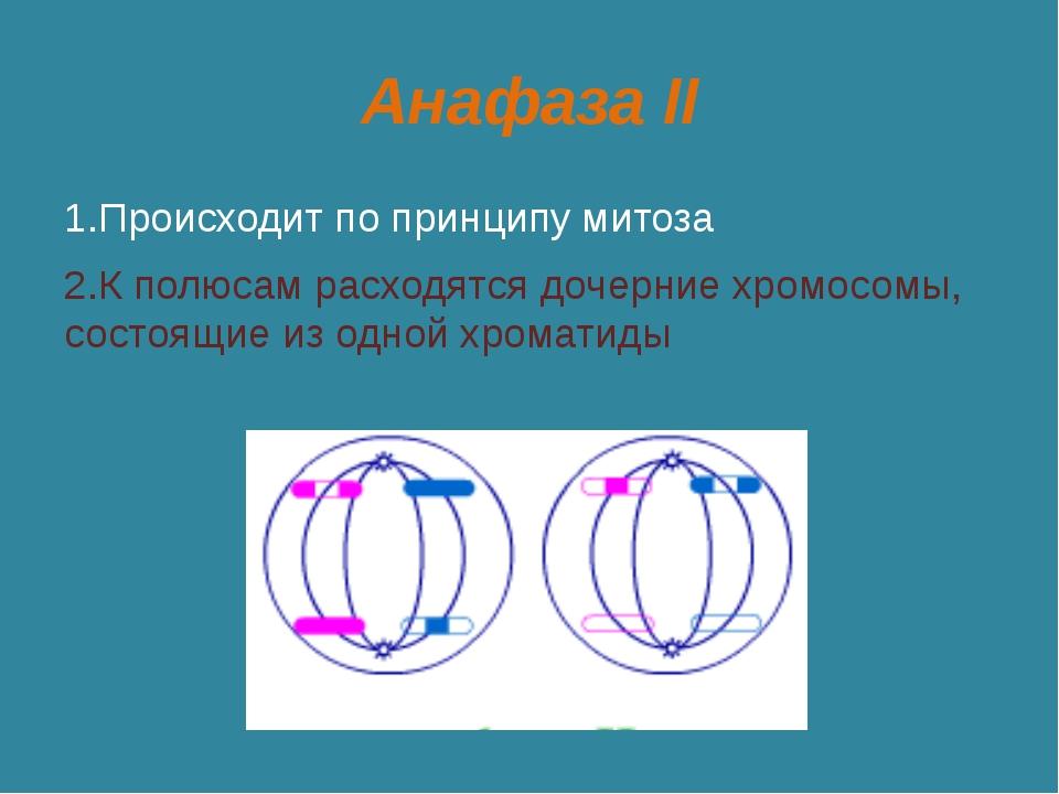Анафаза II 1.Происходит по принципу митоза 2.К полюсам расходятся дочерние хр...