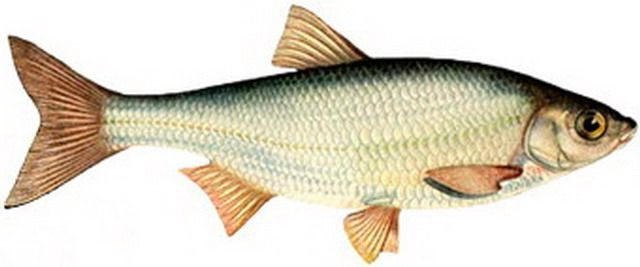 http://kavkazfishing.ru/wp-content/uploads/2012/06/1201_club-fish.ru_.jpg