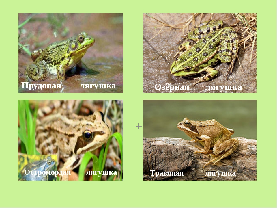 + Прудовая лягушка Озёрная лягушка Травяная лягушка Остромордая лягушка
