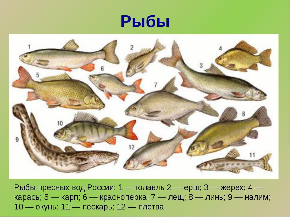 Рыбы Рыбы пресных вод России: 1 — голавль 2 — ерш; 3 — жерех; 4 — карась; 5 —...