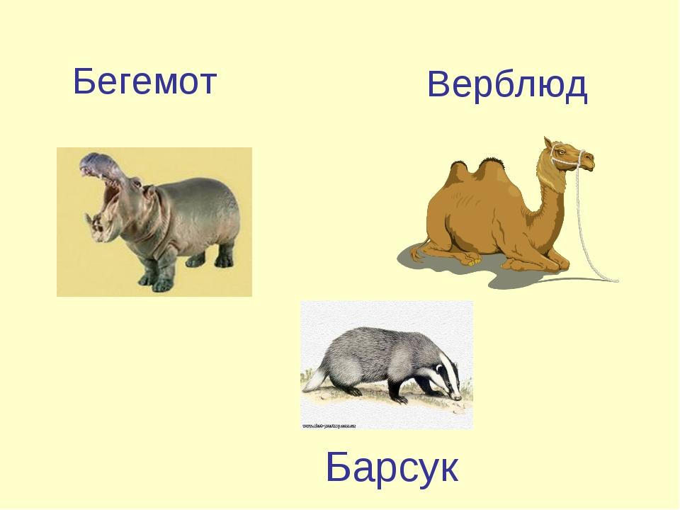 Бегемот Верблюд Барсук