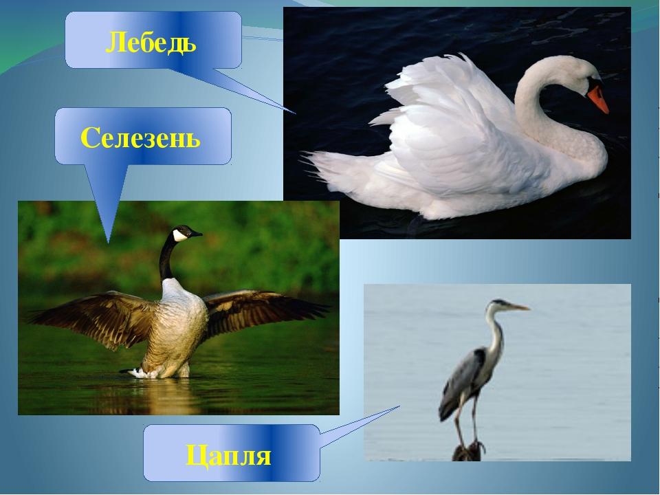 Лебедь Селезень Цапля