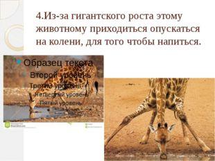 4.Из-за гигантского роста этому животному приходиться опускаться на колени, д
