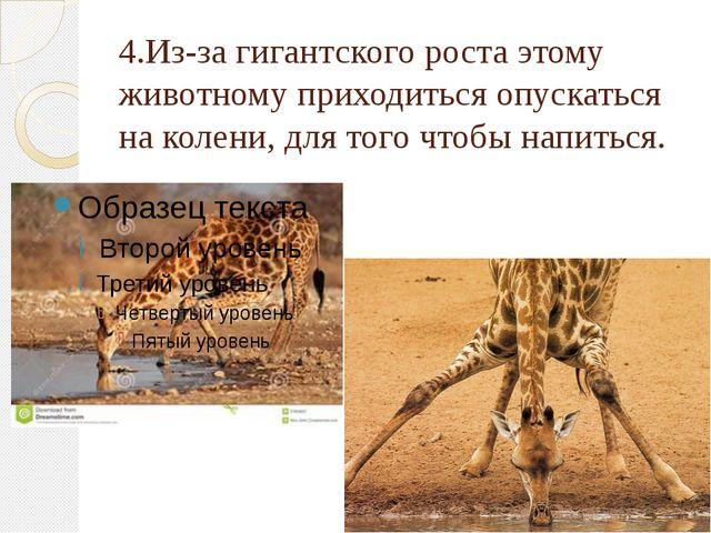 4.Из-за гигантского роста этому животному приходиться опускаться на колени, д...