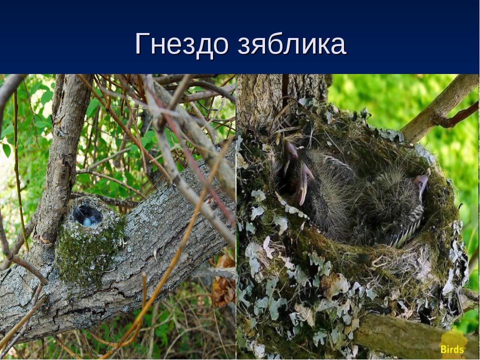 Как выглядит гнездо зяблик