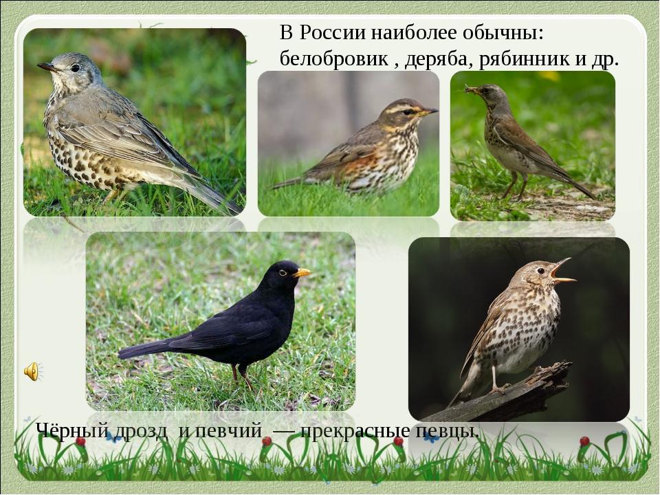 Чёрный дрозд и певчий — прекрасные певцы. В России наиболее обычны: белобров...