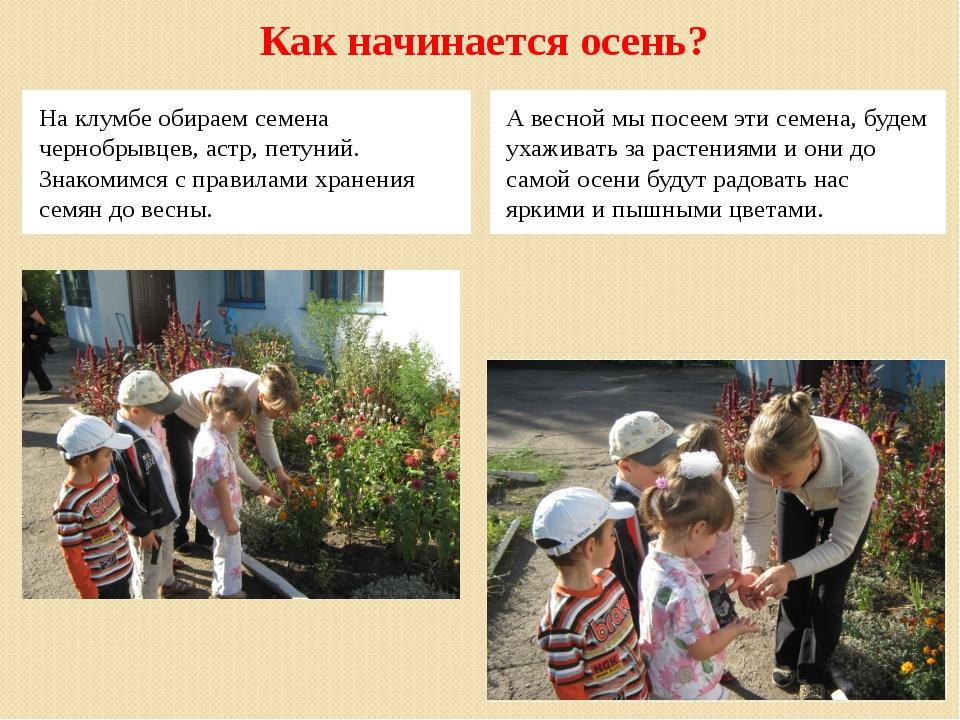 Как начинается осень? На клумбе обираем семена чернобрывцев, астр, петуний. З...