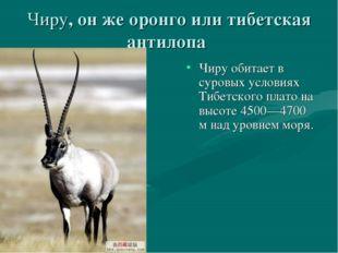 Чиру, он же оронго или тибетская антилопа Чиру обитает в суровых условиях Тиб