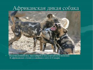Африканская дикая собака Малочисленный вид, находящийся под угрозой исчезнове