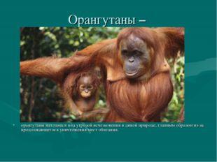 Орангутаны – орангутаны находятся под угрозой исчезновения в дикой природе, г