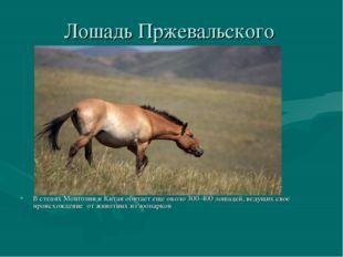 Лошадь Пржевальского В степях Монголии и Китая обитает еще около 300-400 лоша