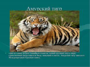 Амурский тигр один из самых редких хищников планеты, самый крупный тигр в мир