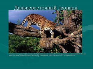 Дальневосточный леопард Один из самых редких представителей семейства кошачьи