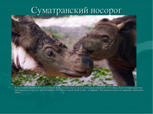 Суматранский носорог В настоящее время в Юго-Восточной Азии обитает всего око