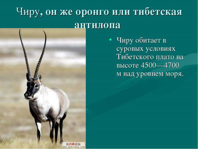 Чиру, он же оронго или тибетская антилопа Чиру обитает в суровых условиях Тиб...