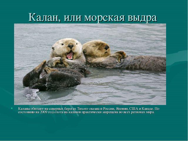 Калан, или морская выдра Каланы обитают на северных берегах Тихого океана в Р...