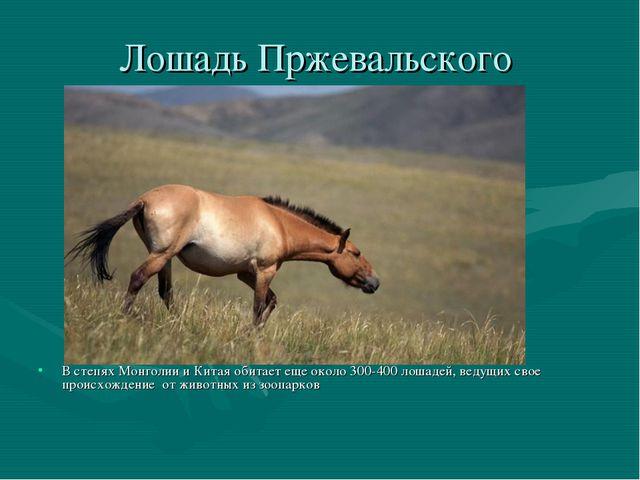Лошадь Пржевальского В степях Монголии и Китая обитает еще около 300-400 лоша...