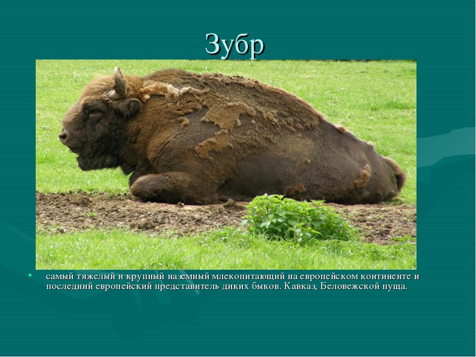 Зубр самый тяжелый и крупный наземный млекопитающий на европейском континенте...