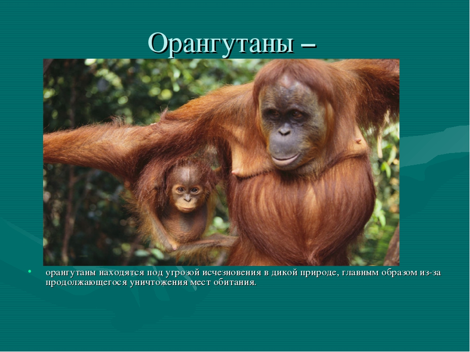 Орангутаны – орангутаны находятся под угрозой исчезновения в дикой природе, г...
