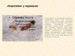 «Королева» у муравьев В зависимости от окружающих условий в муравейнике может