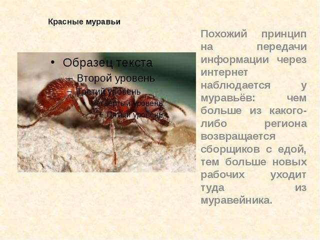 Красные муравьи Похожий принцип на передачи информации через интернет наблюда...