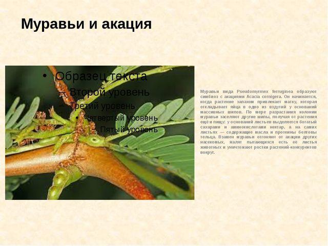 Муравьи и акация Муравьи вида Pseudomyrmex ferruginea образуют симбиоз с акац...