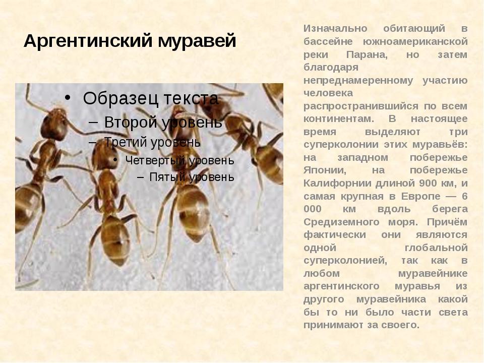 Аргентинский муравей Изначально обитающий в бассейне южноамериканской реки Па...