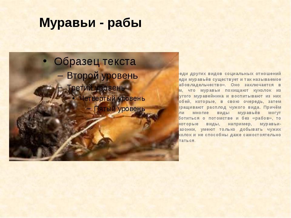 Муравьи - рабы Среди других видов социальных отношений среди муравьёв существ...