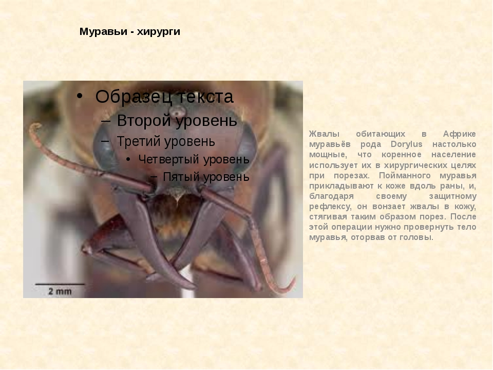 Муравьи - хирурги Жвалы обитающих в Африке муравьёв рода Dorylus настолько мо...
