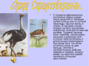 У страуса африканского контурные перья служат лишь защитой от палящих лучей с