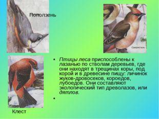 Птицы леса приспособлены к лазанью по стволам деревьев, где они находят в тре